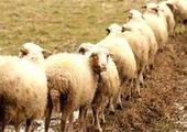 قیمت گوشت تا پایان هفته کاهش می یابد