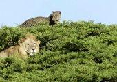 فرار شیر از دست گاومیشهای عصبانی به بالای درخت! +عکس
