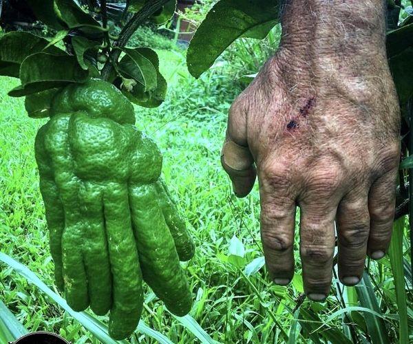 رشد یک نارنگی به شکل دست انسان!+عکس