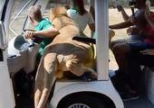 عکسی جالب از خمیازه یک شیر
