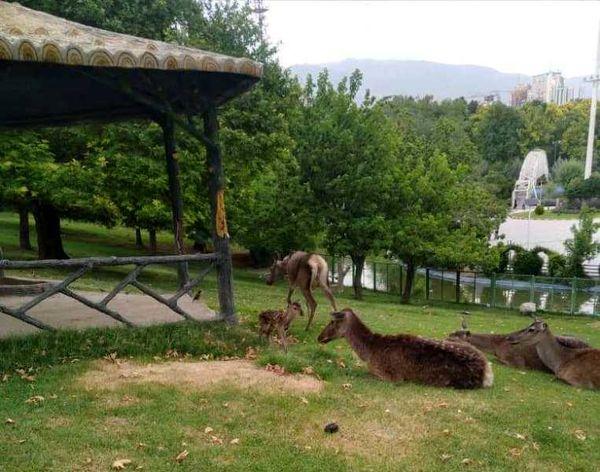 تولد 2 رأس مرال یا گوزن قرمز ایرانی در حیات وحش بوستان ملت 