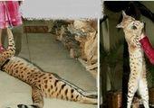 نامزد رونالدو زشت ترین گربه جهان را خرید! +عکس