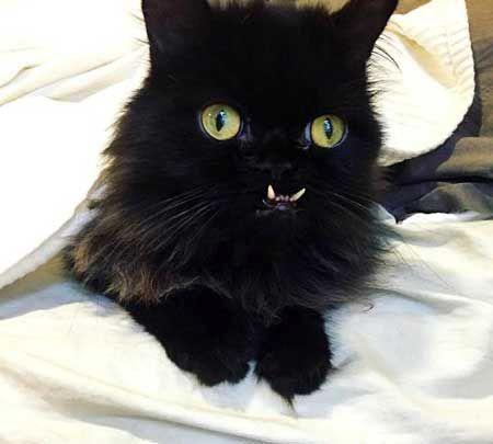 گربهای که صورتش شبیه به انسان است!