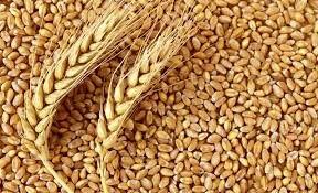 خرید تضمینی بیش از 7.6 میلیون تن گندم در شعب بانک کشاورزی