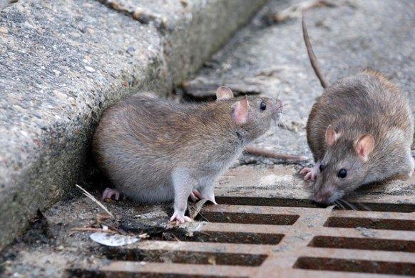 کاهش ۲۰ درصدی تماس شهروندان با موضوع موش