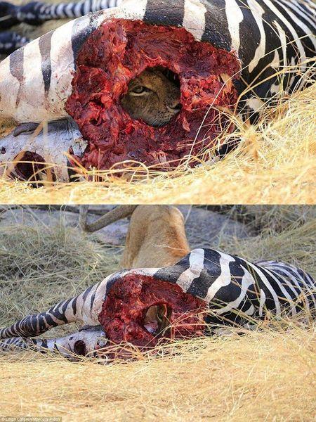 دید زدن شیر از حفره امعاء و احشاء گورخر!+عکس