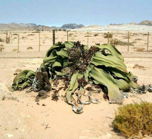 گیاهی که سالانه تنها با 5 سانتی متر آب زندگی می کند+عکس