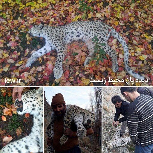 کشف لاشه یک پلنگ در شهرستان نور مازندران+عکس