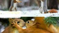 سلام کردن سنجاب ها به یکدیگر در واقعیت!+عکس