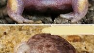 قورباغه بدنساز+عکس