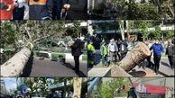  سقوط چنار ۶۰ ساله در خیابان ولیعصر تهران در پی وزش بادِ خفیف